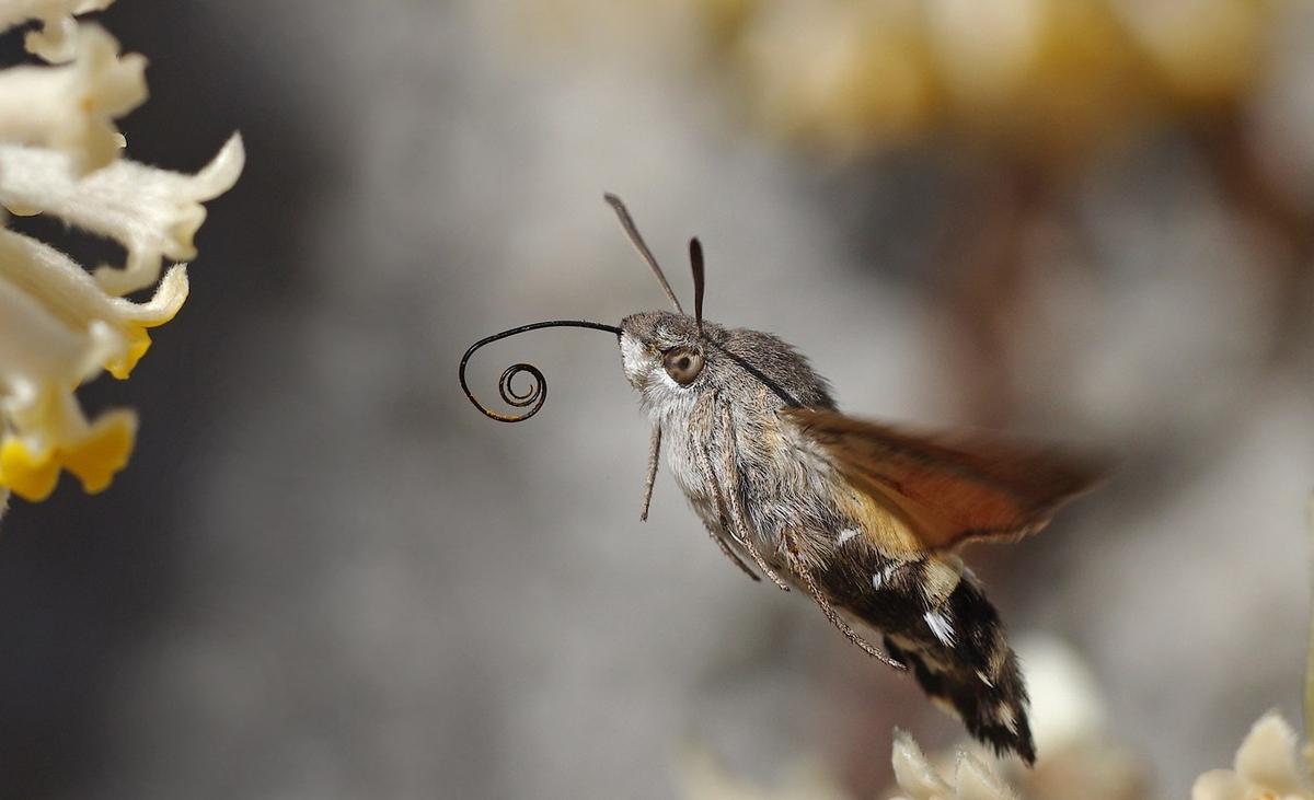 La mariposa colibri