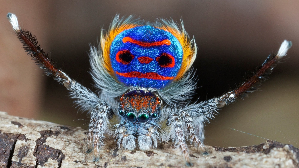 La Araña Pavoreal